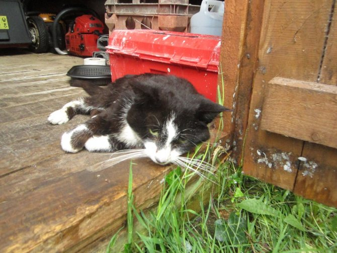 отравление у кошек
