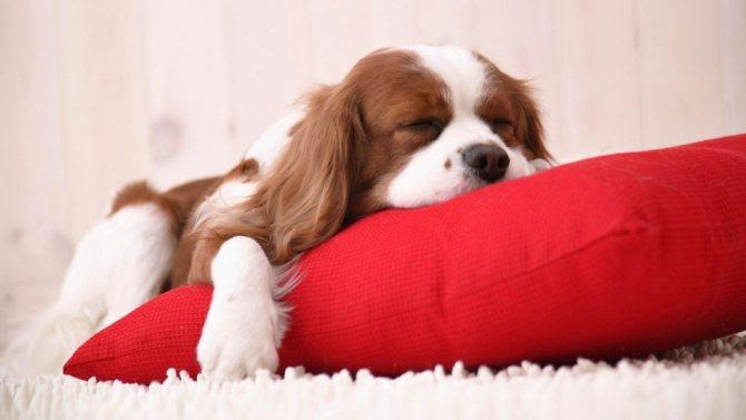 Отсутствие настроения и аппетита у собаки - первые признаки пироплазмоза