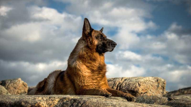 Овчарка на скале