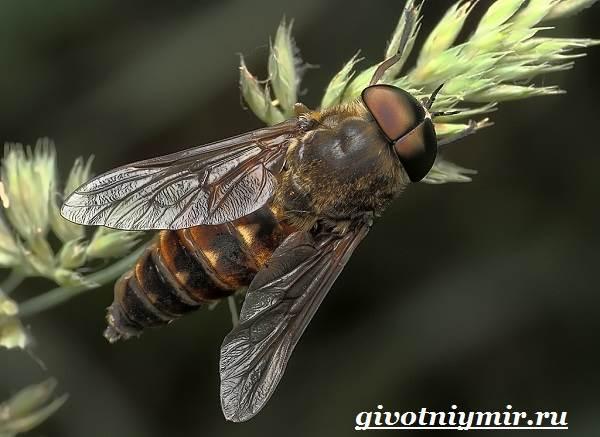 Овод-насекомое-Образ-жизни-и-среда-обитания-овода-7