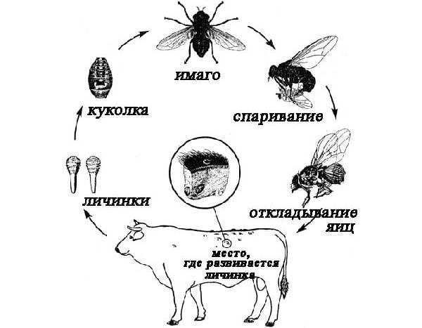 Овод-насекомое-Описание-особенности-виды-образ-жизни-и-среда-обитания-овода-13