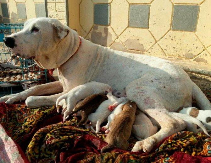 Пакистанский мастиф со щенками