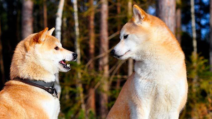 пара собак акита ину фото