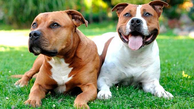 пара собак породы Стаффордширский бультерьер фото