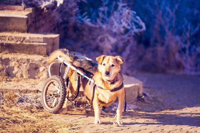 Паралич задних лап у собаки