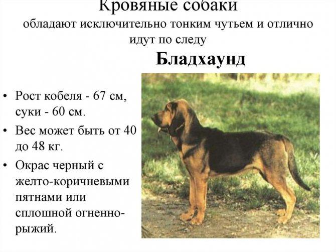 Параметры собаки Бладхаунд