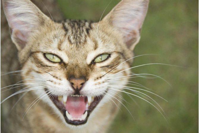 Пародонтоз у кошек