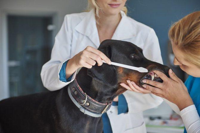 Пародонтоз у собак