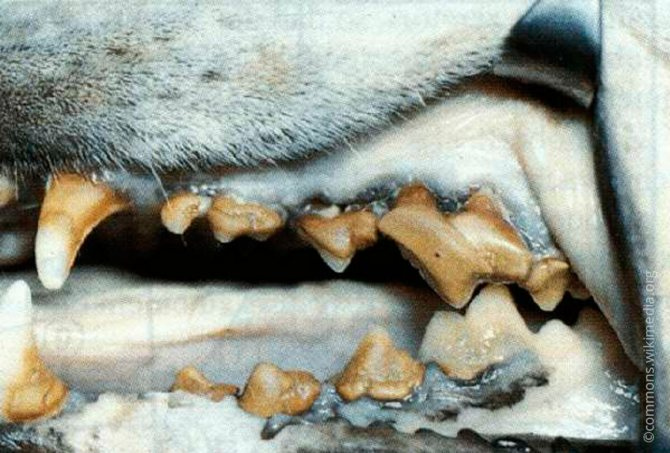 Пародонтоз у собаки