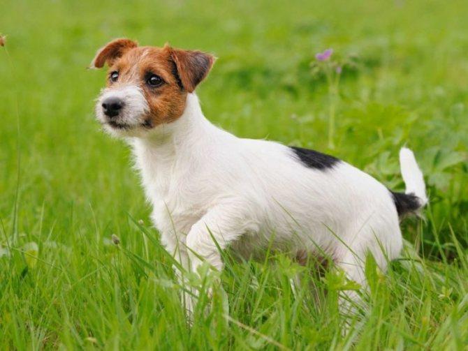 parson russell terrier - Парсон рассел терьер и джек рассел терьер: сравнение
