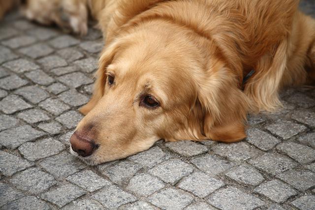 парвовирусный энтерит у щенков как лечить