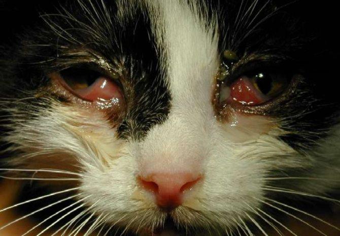 Пастерелла у кошек