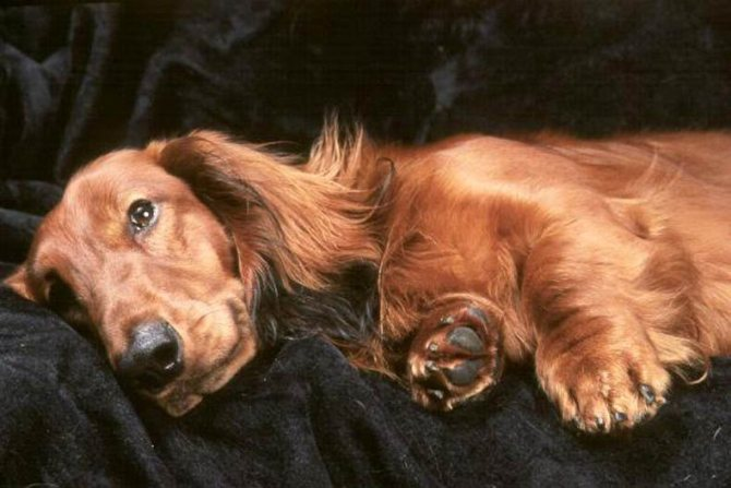 патологические причины, по которым собака вялая