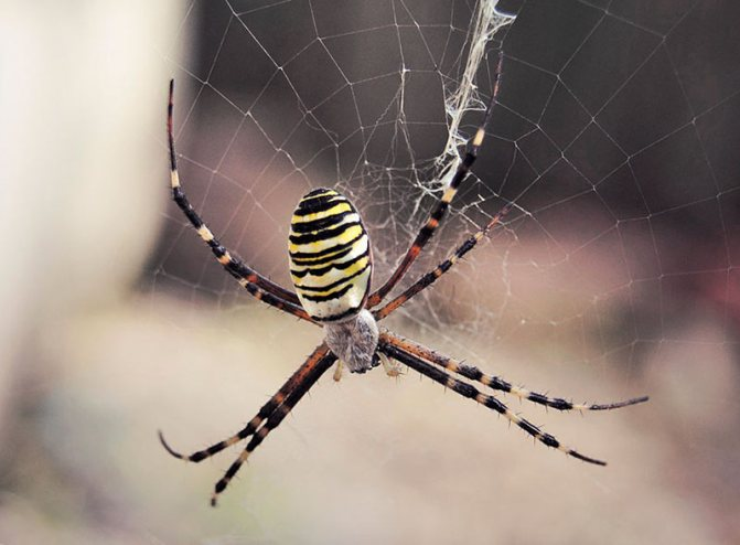 Паук Аргиопа Брюнниха садовая (паук-оса)
