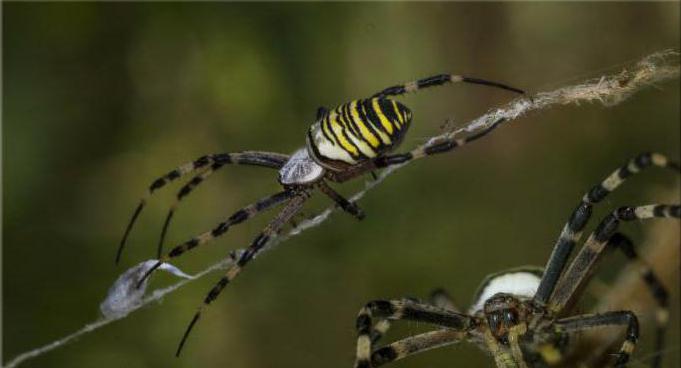 паук аргиопа брюнниха ядовитый или нет