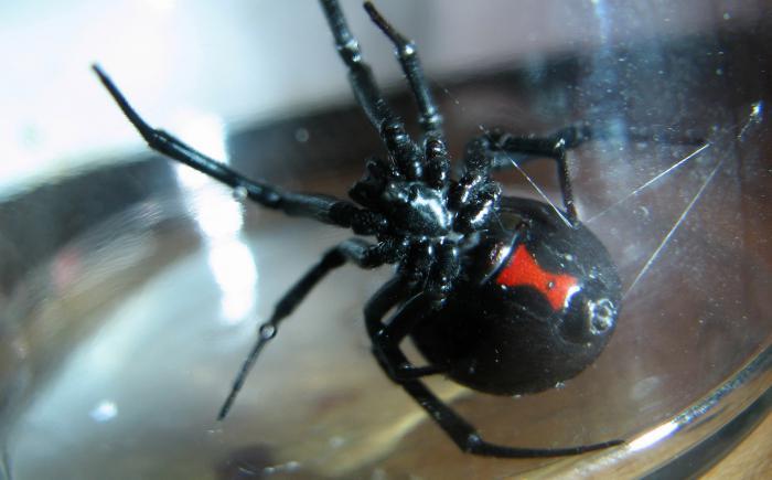 паук черная вдова укус