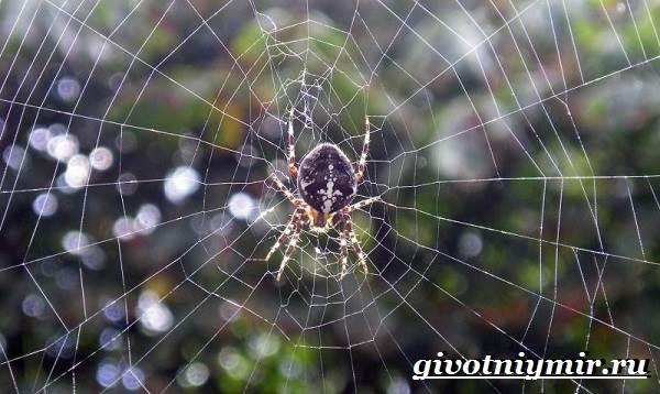 Паук-крестовик-Образ-жизни-и-среда-обитания-паука-крестовика-4