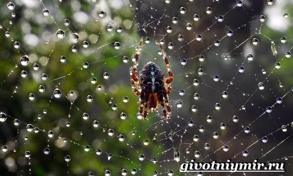 Паук-крестовик-Образ-жизни-и-среда-обитания-паука-крестовика-5