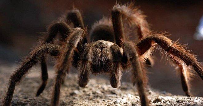 Паук тарантул – описание, как выглядит, где обитает, какие виды существуют?