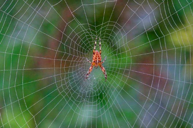 Паутина паука крестовика (крестоносца)