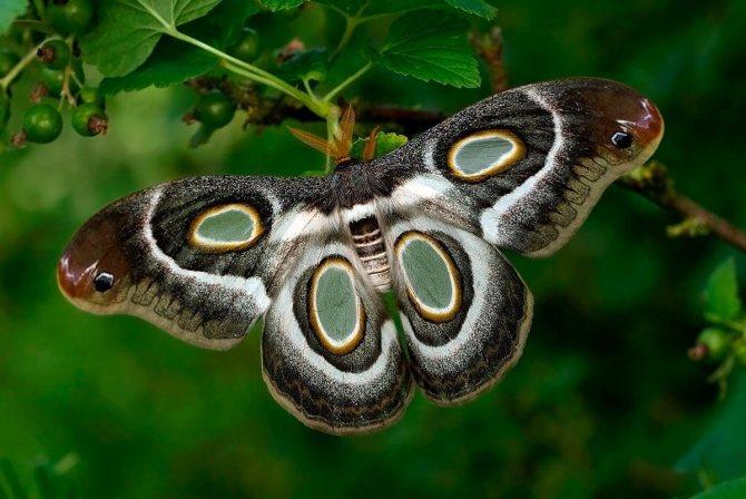 Павлиноглазка - большой ночной павлиний глаз