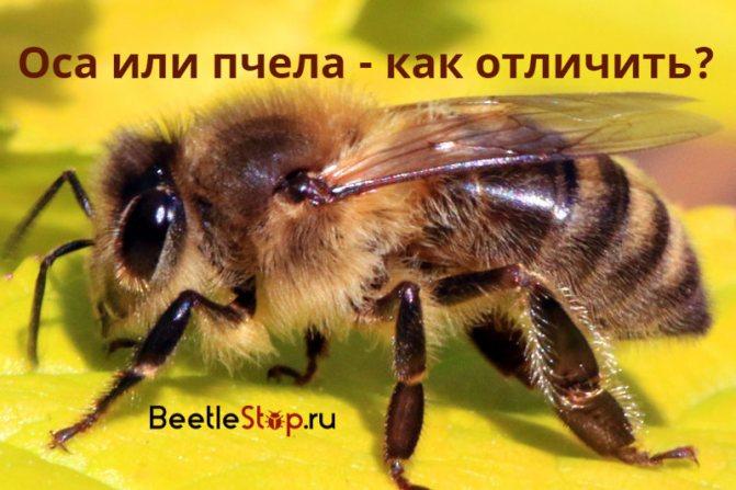 Оса и пчела чем отличаются