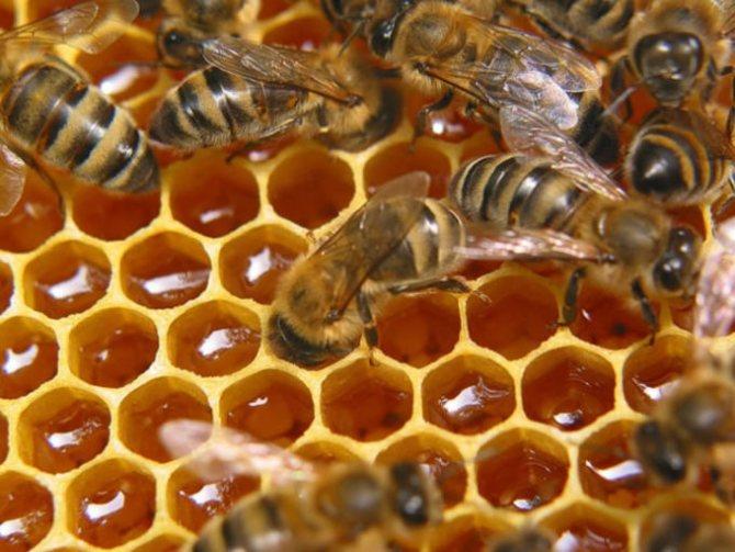 Пчелка, в отличие от осы, постоянно трудится