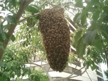 пчёлы на ветке