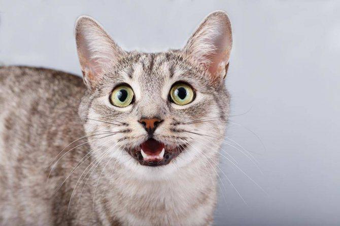 Перед родами кошка начинает громко мяукать