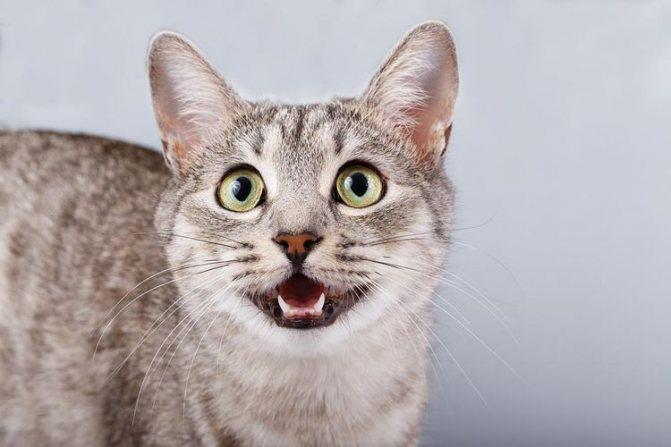 Перед родами кошка всем своим видом будет подавать сигналы