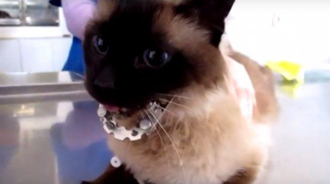 Перелом нижней челюсти у кошки