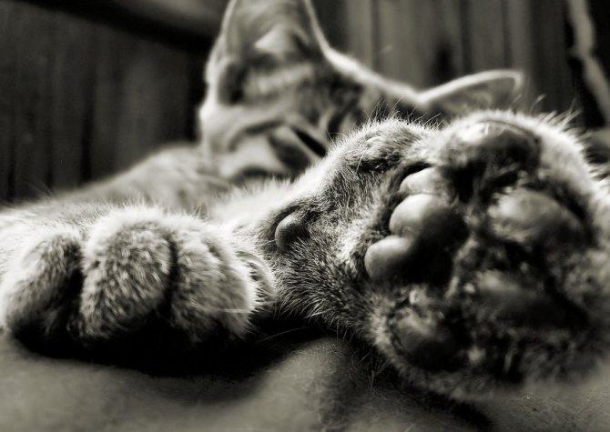 Перемежающаяся хромота у кошек. Хромота у кошки: основные причины провоцирующие недуг. Причины хромоты у кота
