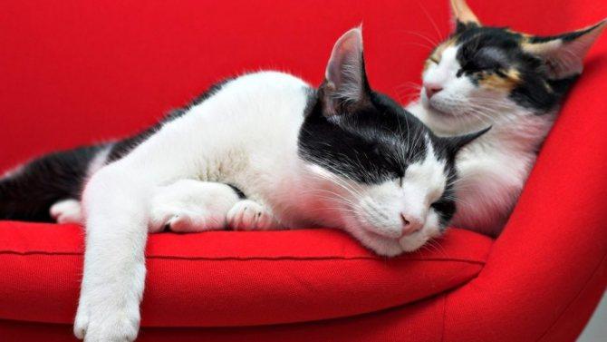 Перхоть у кошки