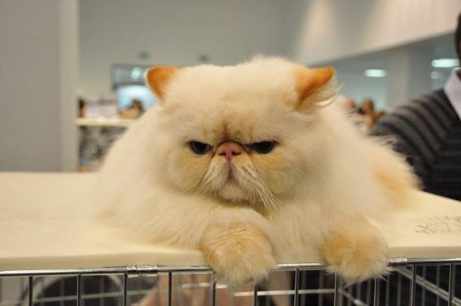 Персидская кошка длинношерстная.