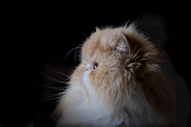 Персидская кошка экстремал фото.jpg