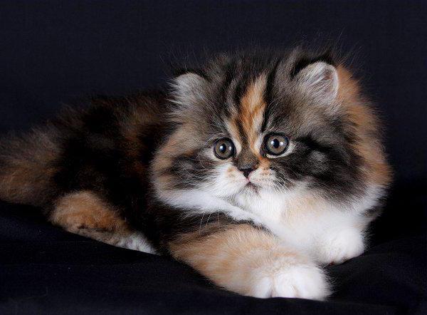 персидская кошка история описание породы характер