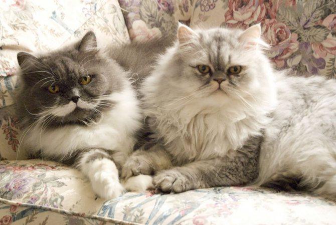 Персидские кошки фото.jpg