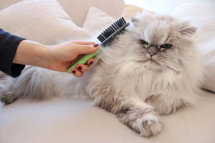 персидские кошки описание породы характер