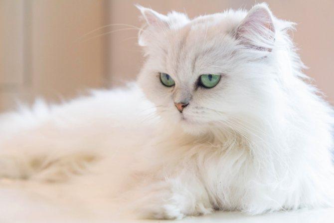 Почему шерсть у кошки на животе и спине выглядит как будто жирной и выпадает, что делать, если у кота жирный хвост: причины жирности шерсти у кошек
