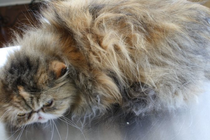 Персидский кот до стрижки