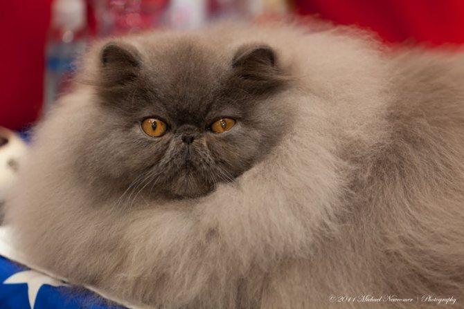 Персидский кот голубого окраса.jpg