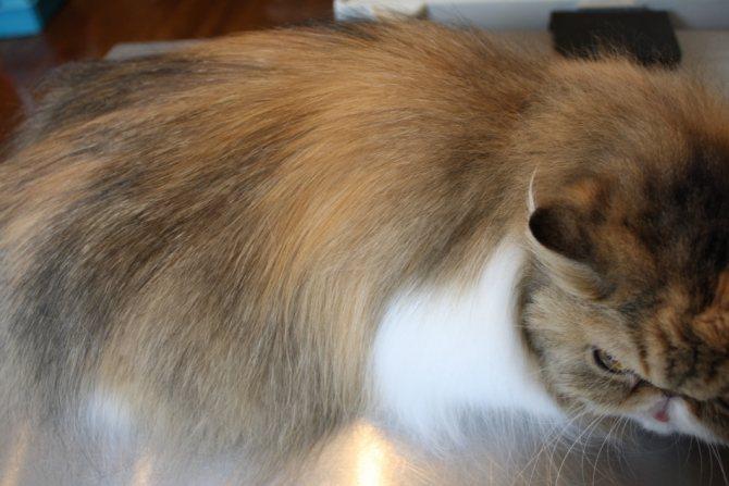 Персидский кот после стрижки