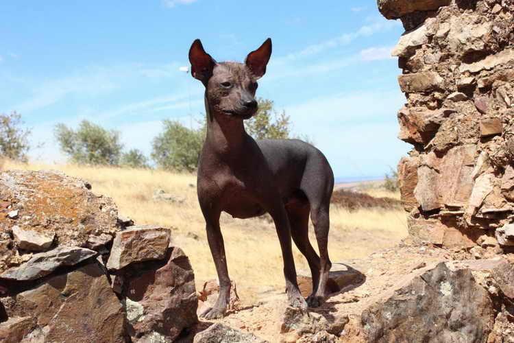 перуанская голая собака дрессировка