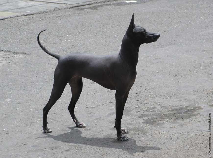 Перуанская голая собака на прогулке
