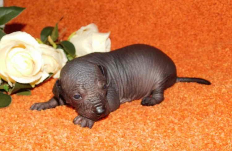 перуанская голая собака щенок
