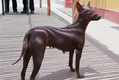 Перуанская лысая собака