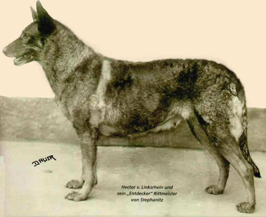 первая немецкая овчарка