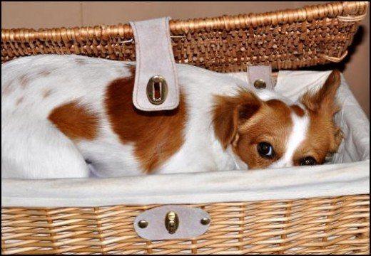 Первая помощь при ложной беременности у собак