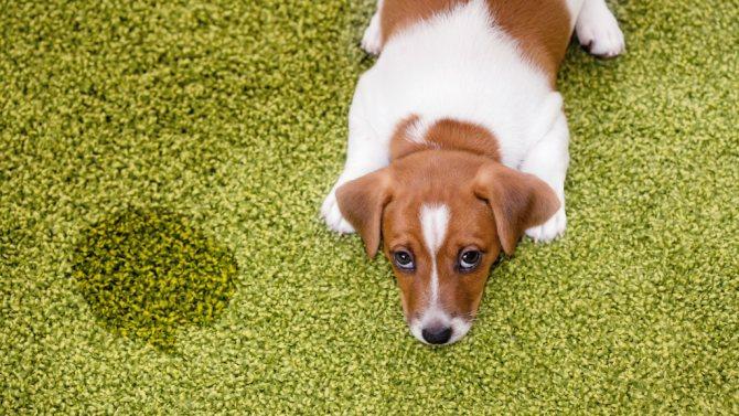 первая помощи при появлении крови в моче собак