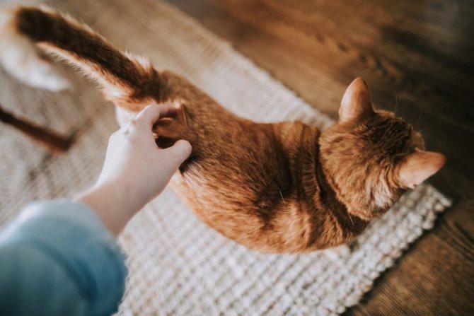 Первая течка у кошки